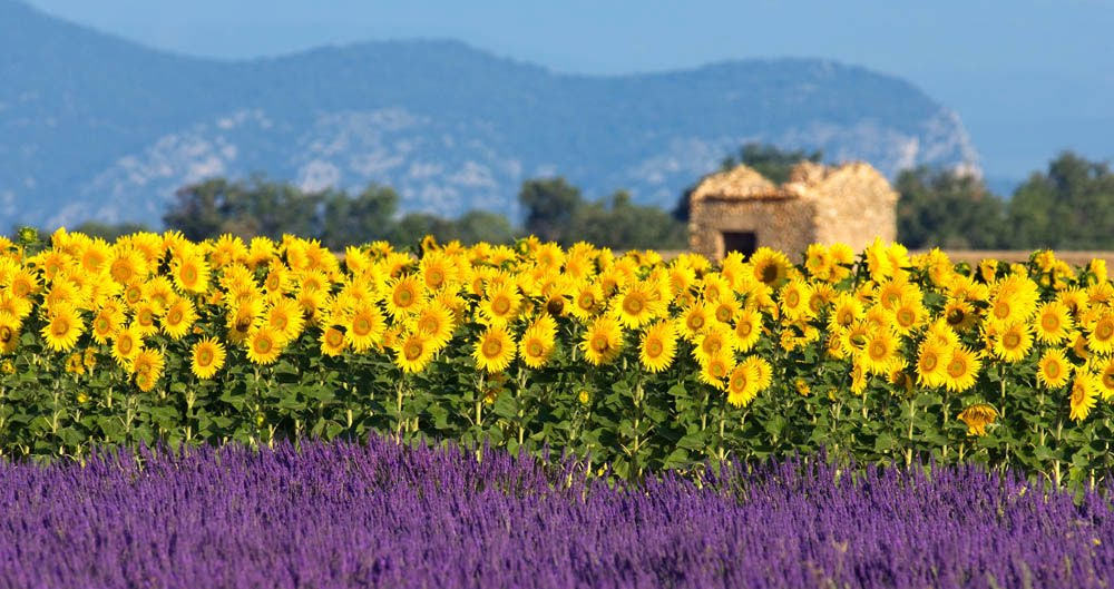 Lavender field with sun flowers and old house