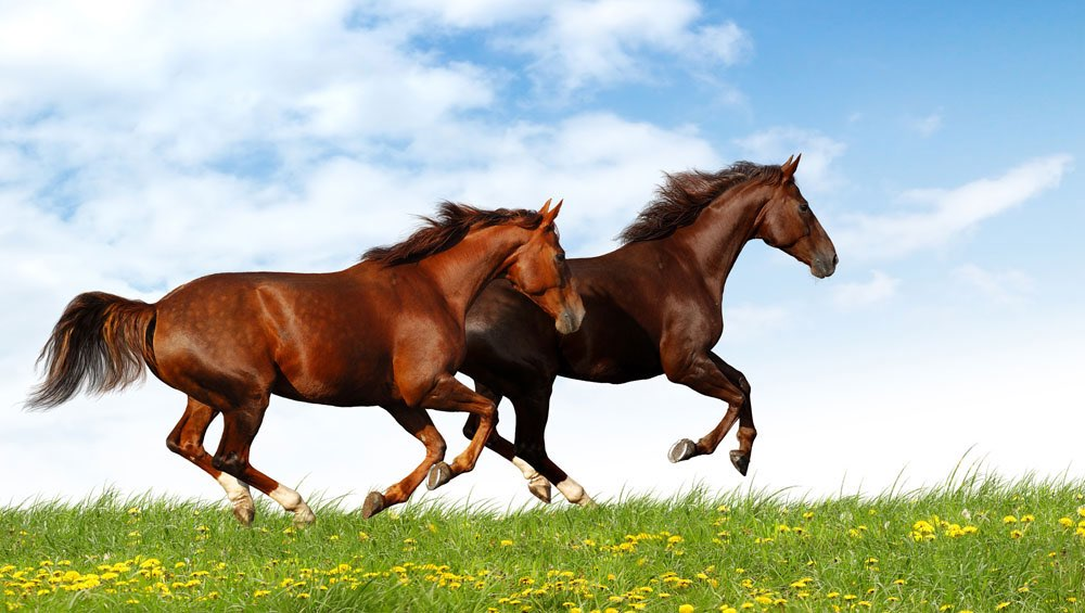 Two horses gallopping through meadow, blue sky